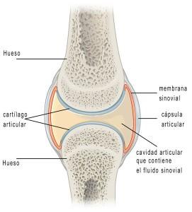 Estructura articulación y líquido sinovial