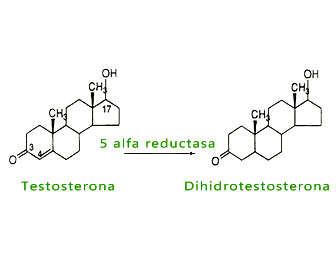 5 alfa reductasa funcion estructura