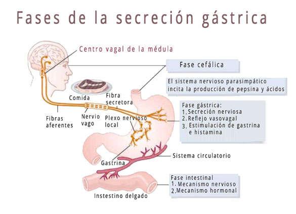 Función del ácido gástrico o jugo gástrico