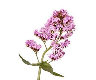 diferencias del ácido valérico de la valeriana frente a matricaria chamomilla o manzanilla