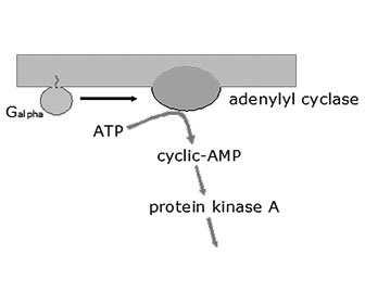 adenosin funcion