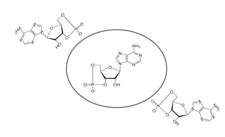 adenosin monofosfato ciclico estructura