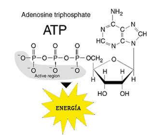 relacion de adenosina y creatina