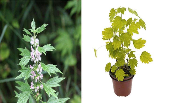agripalma planta medicinal