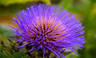 Flor de alcachofera