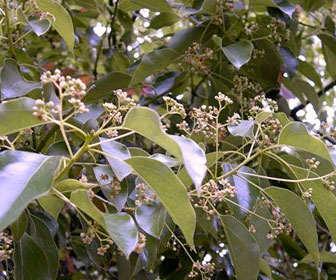 Árbol del alcanfor o alcanforero con nombre científico Cinnamomum camphora