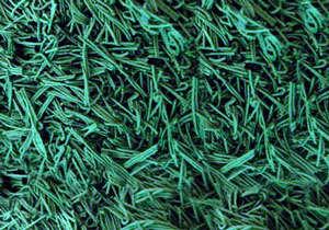 alga espirulina viva