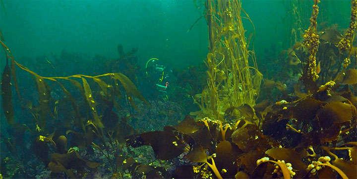 Algas pardas para adelgazar, nutrir y mineralizar el organismo