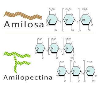 amilosa y amilopectina