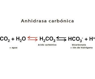 anhidrasa carbonica