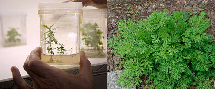 Crecimiento in-vitro y de forma salvaje de la planta Artemisa