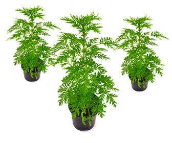 Artemisa vulgaris planta