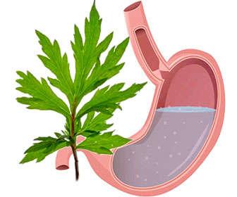 propiedades de artemisa planta para la digestión