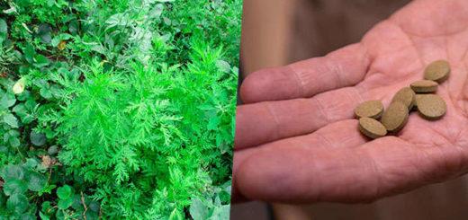 Propiedades medicinales y curativas de Artemisia annua