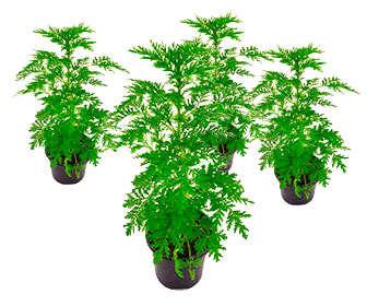 Cultivo de artemisia vulgaris en huerto urbano