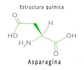 """La <strong>asparagina</strong> es un aminoácido no esencial necesario para tener buena salud. Su función está entrelazada con las de las proteínas y también tiene propiedades para el tejido nervioso y cerebral. Su estructura química afecta a todas las células del organismo, cuya fórmula cuando se degrada produce una reacción para producir <strong><span style=""""text-decoration: underline;"""">aspartato</span></strong> y <strong><span style=""""text-decoration: underline;"""">amonio</span></strong>, estando involucrada también en la gluconeogénesis o ruta metabólica para producir glucosa en el cuerpo. <h2>Asparagina, qué es</h2> Es un aminoácido no esencial. Esto significa que el propio organismo es capaz de producirlo pero en muchas ocasiones es necesario incluirlo en la dieta para complementar la nutrición del cuerpo humano. La <strong>asparagina aminoácido</strong> está presente en alimentos y su carencia produce trastornos en el sistema nervioso. Su <strong>función</strong> es la de alimentar el sistema nervioso. Mediante la glicosilación —añadir un glúcido a otra molécula— las proteínas del espacio extracelular ayudan al sistema nervioso a ser estable. Funciona, por ejemplo para estabilizar el oído y para mejorar el tacto. <h2>Propiedades químicas y físicas</h2> <li><strong>Fórmula de asparagina:</strong></li> <li><strong>Símbolo químico:</strong> Asn, N.</li> <li><strong>Nombre comercial:</strong> <ul> <li>Ácido 2-amino-3-carbamoilpropanoico.</li> <li>Asparaguina.</li> <li>Asparragina.</li> </ul> </li> <li><strong>Número CAS:</strong> 70-47-3.</li> <li><strong>Densidad:</strong> 1000 kg/m3 o 1 g/cm3.</li> <li><strong>Masa molar:</strong>12 g/mol.</li> <li><strong>Punto de fusión:</strong> 235 °C o 508 k</li> <li><strong>Acidez:</strong> 2,16.</li> <li><strong>pKa:</strong> 8,73.</li> <li>Para mejorar la síntesis de glicoproteínas.</li> <li>Es precursora de ácido gamma aminobutírico GABA.</li> <li>Interviene en el metabolismo del sistema nervioso central SNC.</li> <li>Es p"""