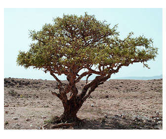 árbol boswellia carterii en Somalia