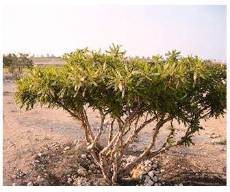 planta boswellia sacra