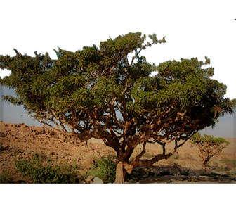 boswellia serrata arbol