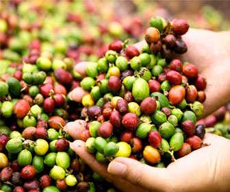 alimentos ricos en cafeina