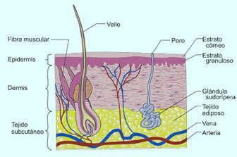 capas de la piel humana