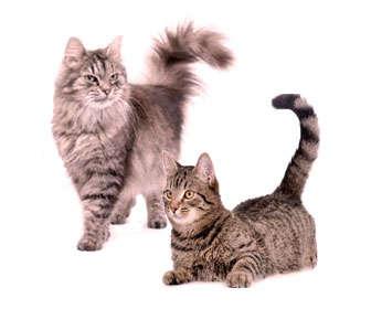 carencia de aminoácidos en gatos domesticos
