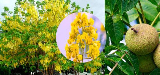 Propiedades medicinales de la planta Cassia siamea