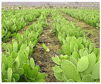 Cultivo de especies y variedades de chumbera u opuntia ficus indica