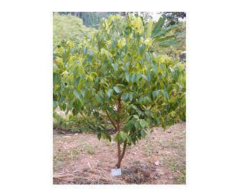 cinnamomum zeylanicum planta