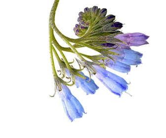 consuelda prunella vulgaris