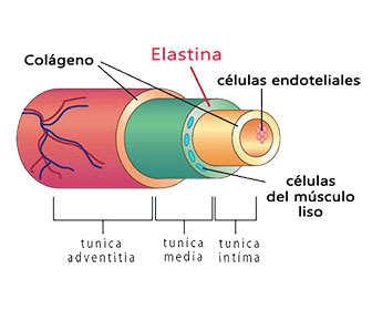 Estructura de elastina y colágeno