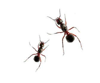acido formico hormigas