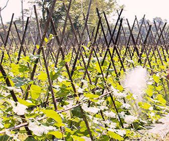 usos del fosfito de potasio como fungicida para plantas