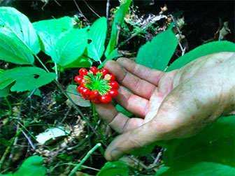 ginseng-panax-planta