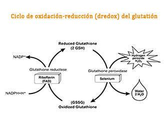 Ciclo de oxidación-redución (redox) del glutatión peroxidasa reductase)