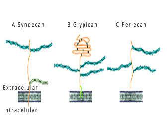heparan sulfato proteoglicano