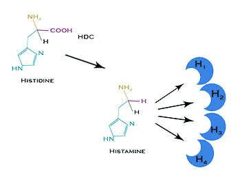 Función de la histamina y cómo mejorar la reacción alérgica con alimentos