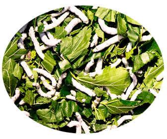 hojas de morera para gusanos de seda