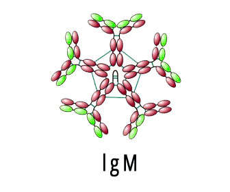 inmunoglobulina m