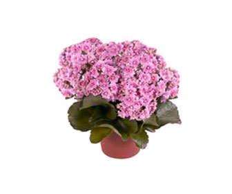 kalanchoe blossfeldiana planta
