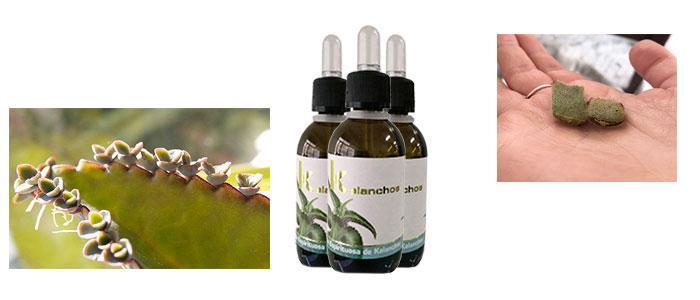 kalanchoe medicinal, cómo consumir, usos