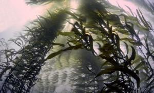kelp-algas
