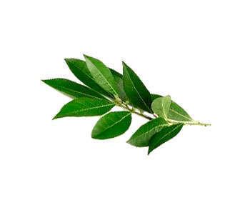 Laurus nobilis es el nombre científico del laurel