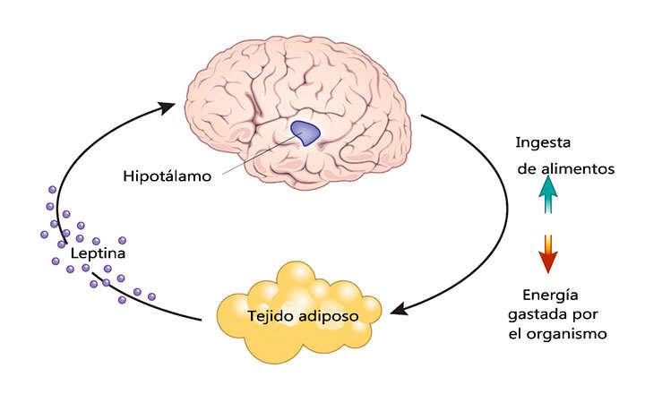 Qué es leptina y cuál es su función en el organismo
