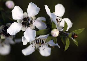 leptospermum socparium o flores de manuka