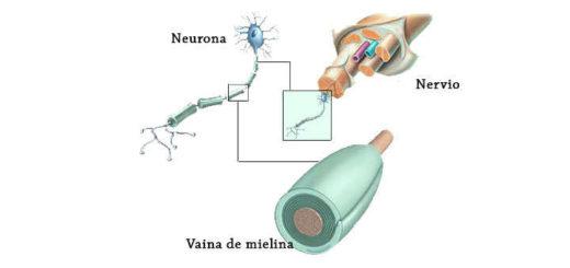 función de mielina en el cerebro