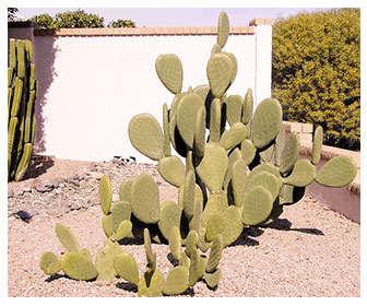 opuntia es sinónimo de chumbera y nopal