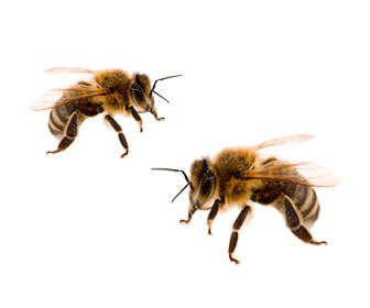 oxalico usos en apicultura y para eliminar la varroa