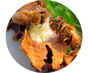 panal de abejas donde hay jalea para las larvas