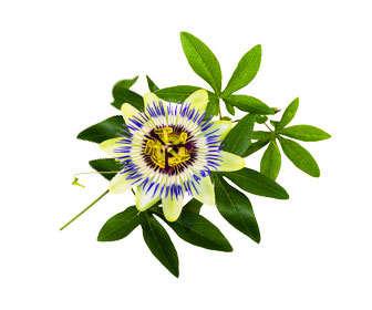 pasiflora planta